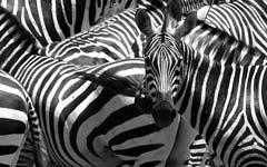 """""""Zebra crossing - Zebrastreifen"""" von alles-schlumpf auf flickr.com"""